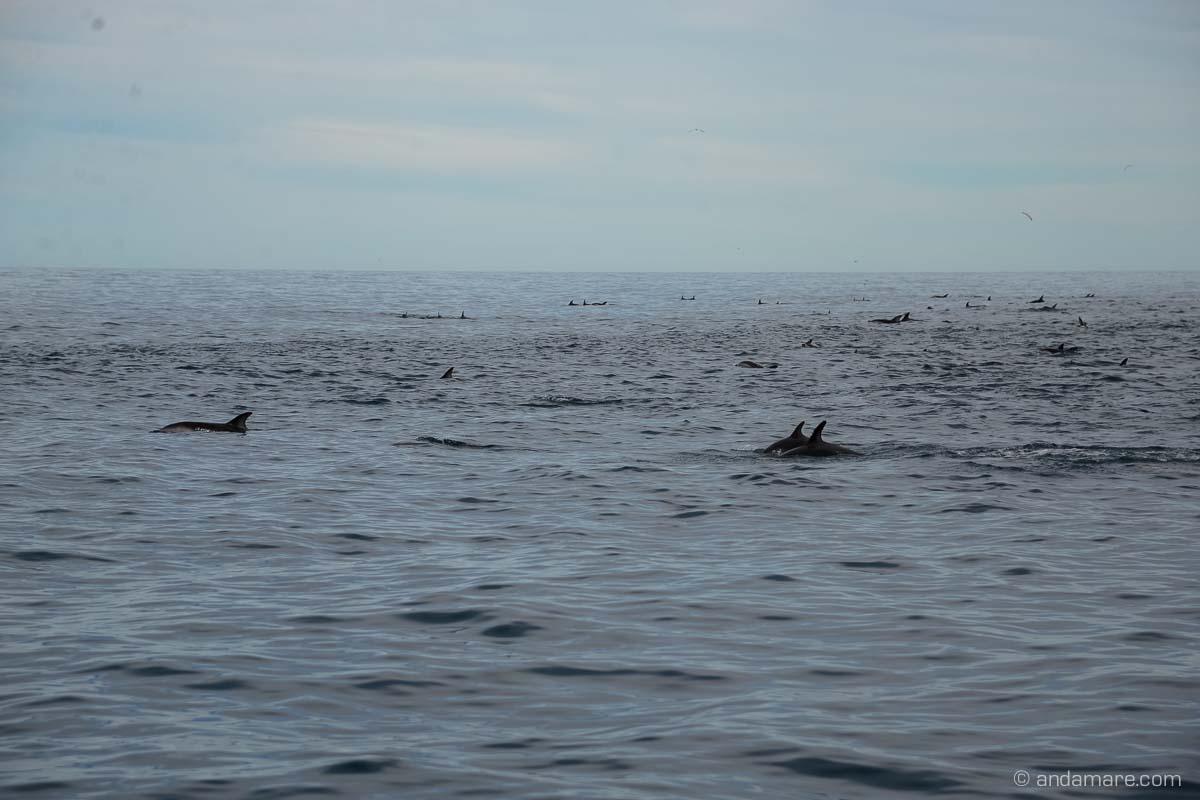 KaikouraDuskyDolphins-NZ_DSC_1885_07442_2013