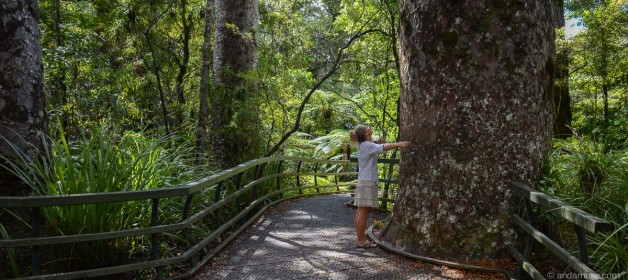Puketi Kauri Forest: I fell in love with the 'Lord of the Forest' …